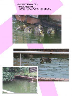 白寿園の池に、カモの赤ちゃんを発見!!